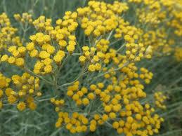 immortelle d italie cuisine l immortelle hélichrysum d italie nature gastronomique et médicinale