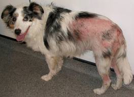 Bed Bugs On Cats Fondle Face Dog Diseases Skin Diseases