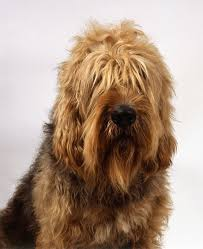 belgian sheepdog club of america national specialty otterhound dog breed information pictures characteristics