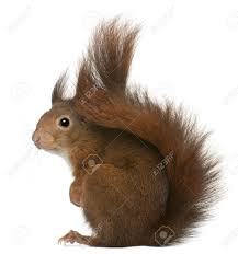 cute squirrel stock photos royalty free cute squirrel images and