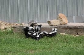 let omega animal removal get rid of your skunk problem