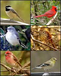 sc backyard birds by wylf on deviantart
