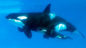 former orca trainer for seaworld condemns its practices npr