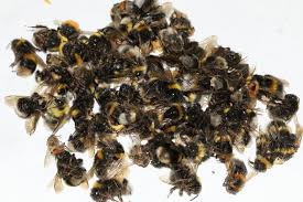 the mystery of the dead bumblebees and the linden trees the new