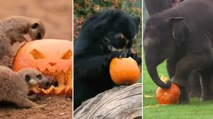 halloween treats for zoo animals in britain youtube