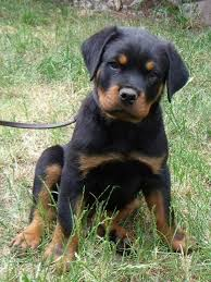 belgian malinois import pup for sale officially certified trained rottweilers for sale germany