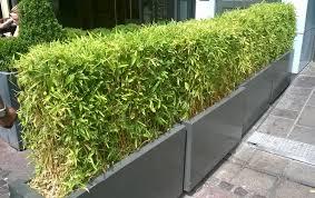 sorte de bambou pivoine etc