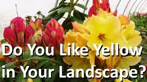 Best Yellow The Best Yellow And Orange Landscape Plant Is Rhododendron Nancy