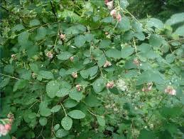 pacific northwest native plants common snowberry symphoricarpos albus native plants pnw