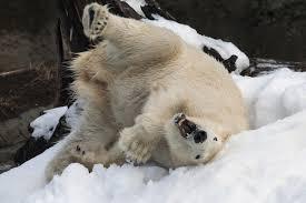 21 cool polar bear facts u2013 zoonooz
