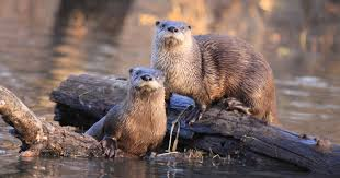 Iowa Wild Swimming images Vanished for generations otters return to iowa as fisherman bark back JPG