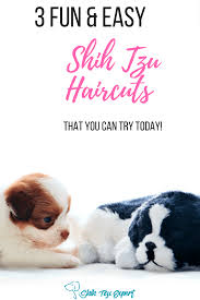 pictures of shih tzu haircuts shih tzu haircuts teddy bear puppy lion cut and other safe