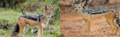 afghan hound vs wolfhound cape vs east african jpg