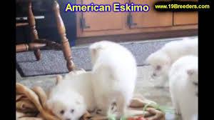american eskimo dog dallas american eskimo puppies for sale in portland oregon or