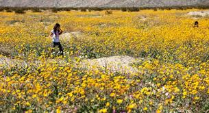 anza borrego wildflowers quick getaways go fast if you want to see the wildflowers of anza