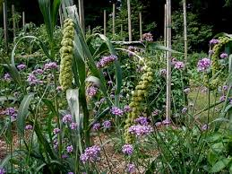 ornamental millet leslie land in kitchen and garden and all