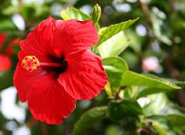 jamaica flower hibiscus rosa sinensis