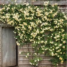roses for walls u0026 fences david austin roses