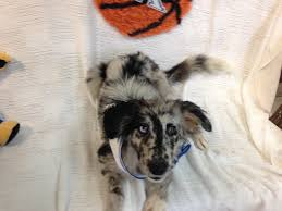 belgian shepherd kentucky hazard ky australian shepherd meet oreo a dog for adoption