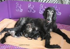 afghan hound 9 months afghan hounds breeder