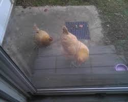 what to feed backyard chickens my chickens love to eat the cats food backyard chickens