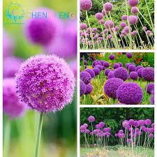 allium flowers aliexpress buy 100 pcs allium giganteum seeds purple