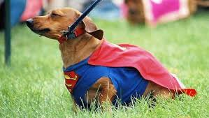 Dachshund Halloween Costumes 10 Halloween Costumes Pets 2012 Mnn Mother Nature