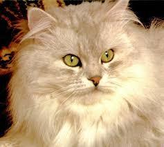 studio persiani il rene policistico nei gatti persiani ambulatorio veterinario