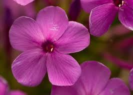 Phlox Flower Purple Phlox Flower