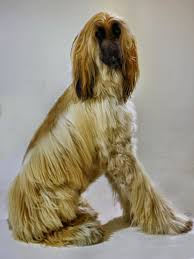 afghan hound in apartment the animal mei 2015