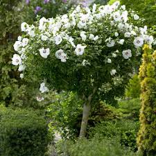 white of tree 6 8ft grown hibiscus style