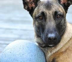 belgian shepherd vancouver keltie r lang pet training 8840 210 street langley bc