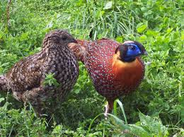 amherst other ornamental pheasants