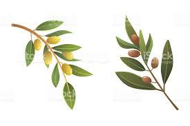 set olives fruit olive tree branch vector illustration in