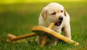 destructive dog tips for preventing damage the labrador site
