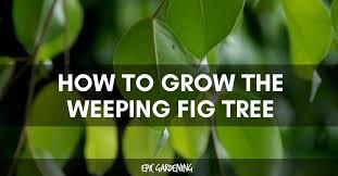 ficus benjamina weeping fig tree care