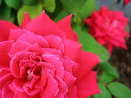 planting roses how to plant roses for the beginning gardener