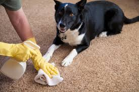 How To Clean Pet Urine From Laminate Floors How To Get Pet Urine Smell Out Of Carpet Angie U0027s List