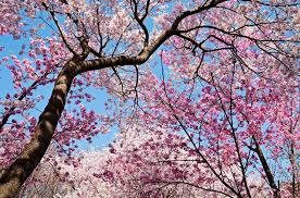 cherry blossom trivia facts about cherry blossoms