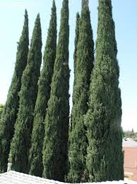 Italian Backyards by Italian Cypress Trees Image Caring Italian Cypress Trees