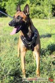 belgian sheepdog allergies handcrafted padded leather harness for belgian malinois h10 1092