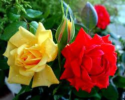 carol tag wallpapers carol flowers roses flower red wallpaper