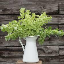 bells of ireland flower bells of ireland seed johnny s selected seeds