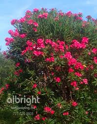 oleander shrub pink flowers colorful landscape privacy