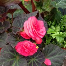 lafayette florist 52 best begonias images on flowers garden ideas and