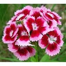 the gardener sweet william flowers 100 seeds walmart
