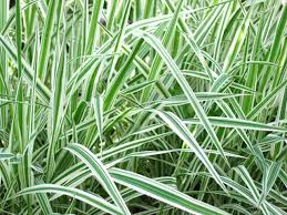the best ways to get rid of ornamental grasses hunker