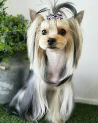 yorkie haircuts pictures only yorkie designer cuts with knot google search yorkie hair