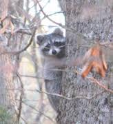 Raccoons In Backyard Tennessee Watchable Wildlife Backyard Wildlife Information