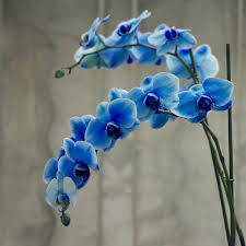 blue orchids blue orchids flower photo aa flowers orchid blue